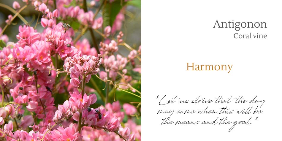 mother harmony antigonon