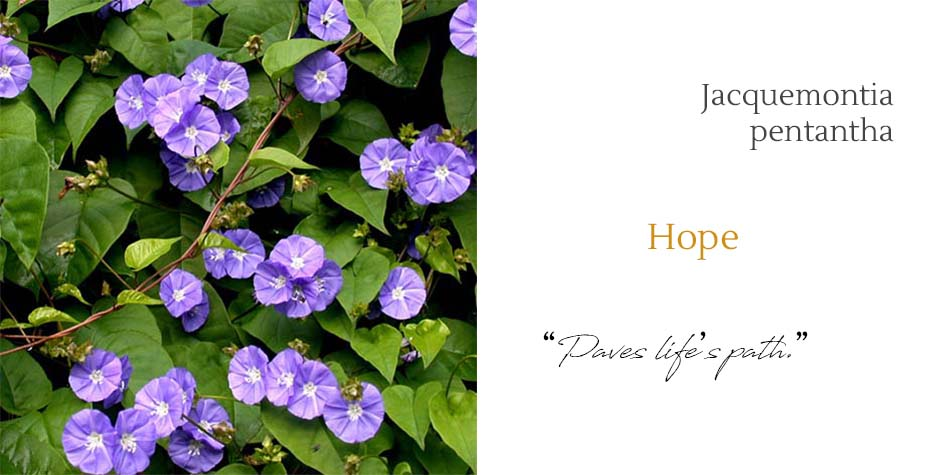 hope mother jacquemontia