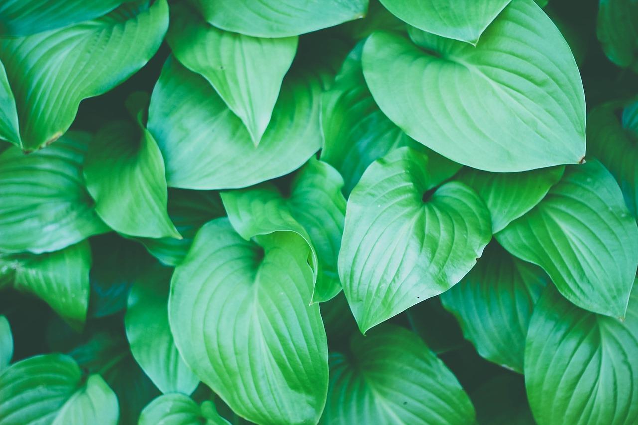 Moringa - Wheatgrass Drink