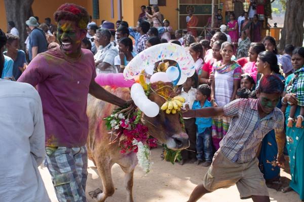 Cow-race