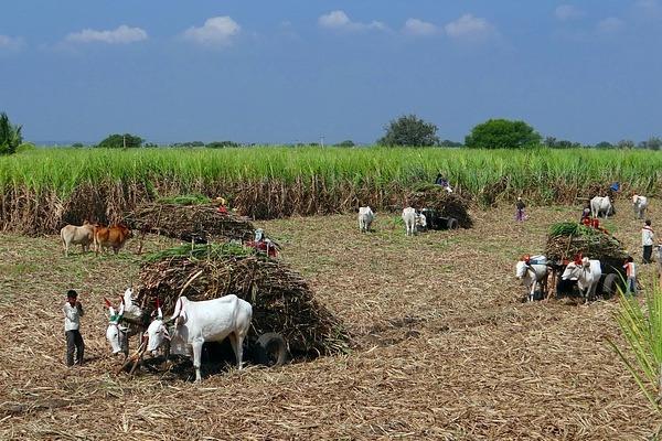Sugarcane-harvest